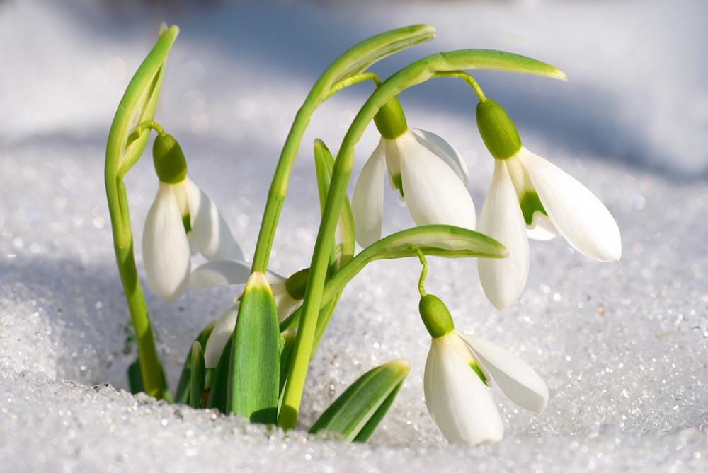 如何区分雪滴花和夏雪片莲