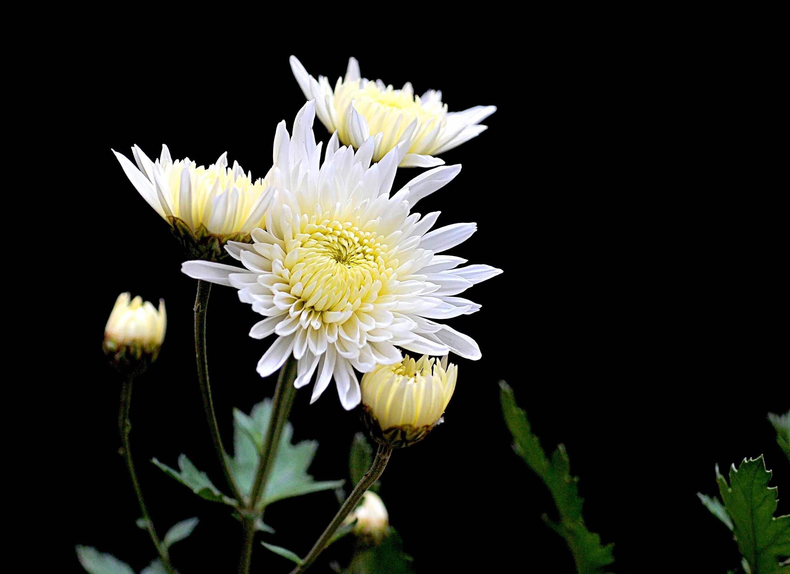 如何提高菊花的寿命