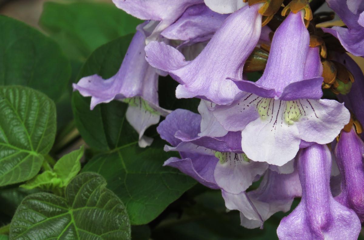 梧桐花的花语及作用是什么