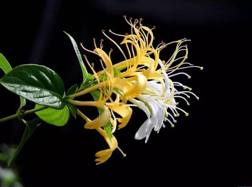 金银花的品种简介