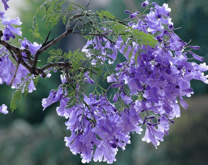 蓝花楹的花语,宁静深远、抑郁绝望