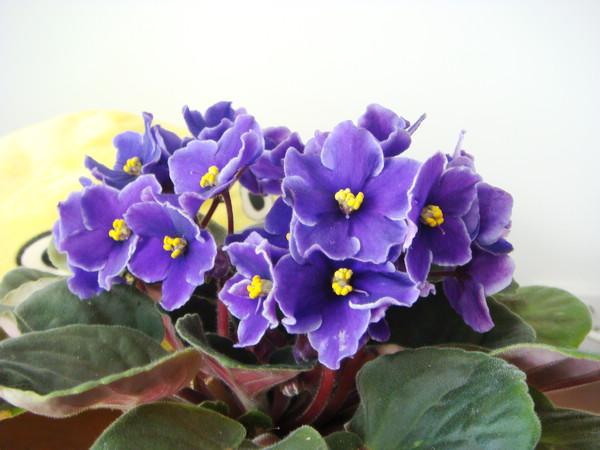 非洲紫罗兰的品种简介