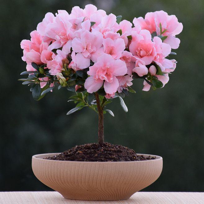 杜鹃花盆栽的施肥管理有哪些