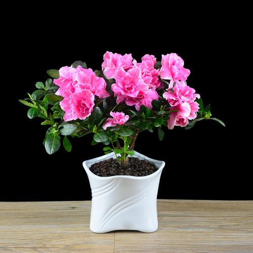 杜鹃花多久开一次花之花蕾期管理
