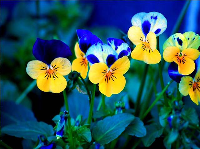 蝴蝶花的栽培要点都有哪几点?