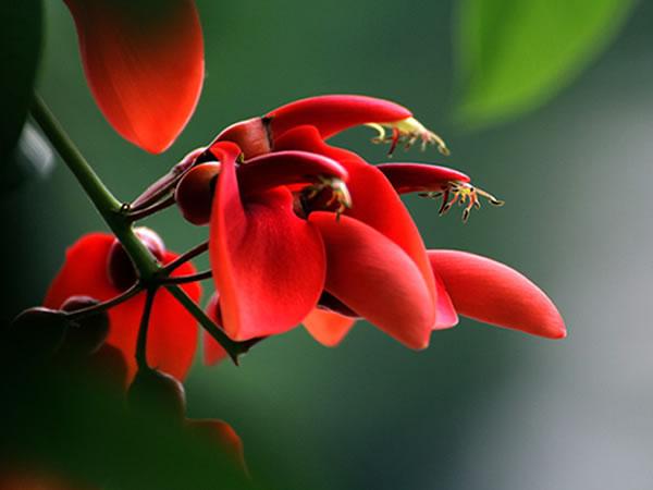 鸡冠刺桐的品种简介