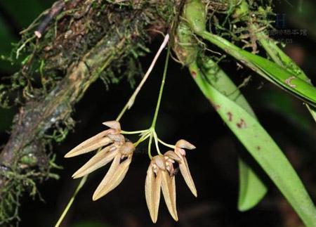 带叶卷瓣兰是一种什么花卉植物?带叶卷瓣兰图片及简介