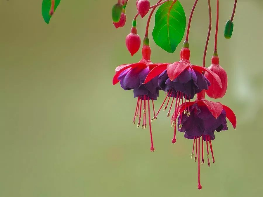 吊钟海棠花语