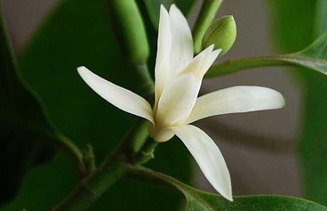 北方种植白兰花的五个要点是什么?