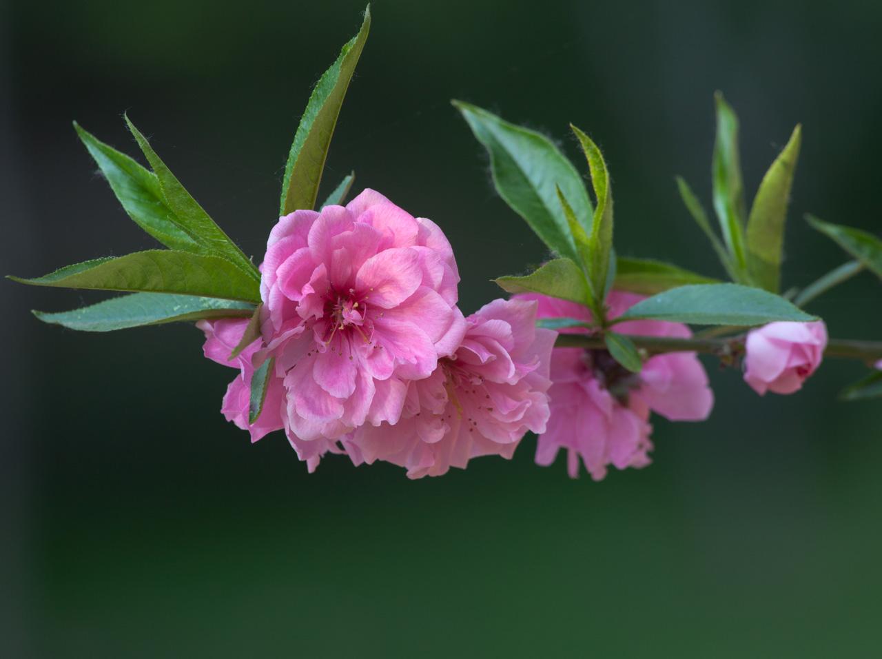 碧桃的冬季修剪诀窍是什么