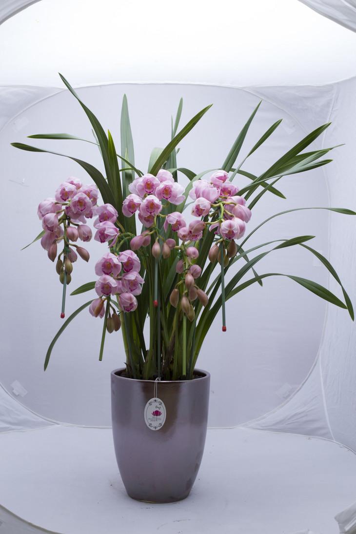 大花蕙兰的花后怎样养护比较好
