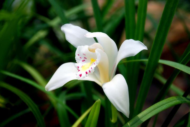独占春的栽培要点有哪些