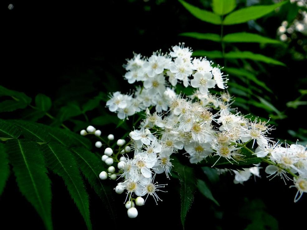华北珍珠梅的栽培要点是哪些