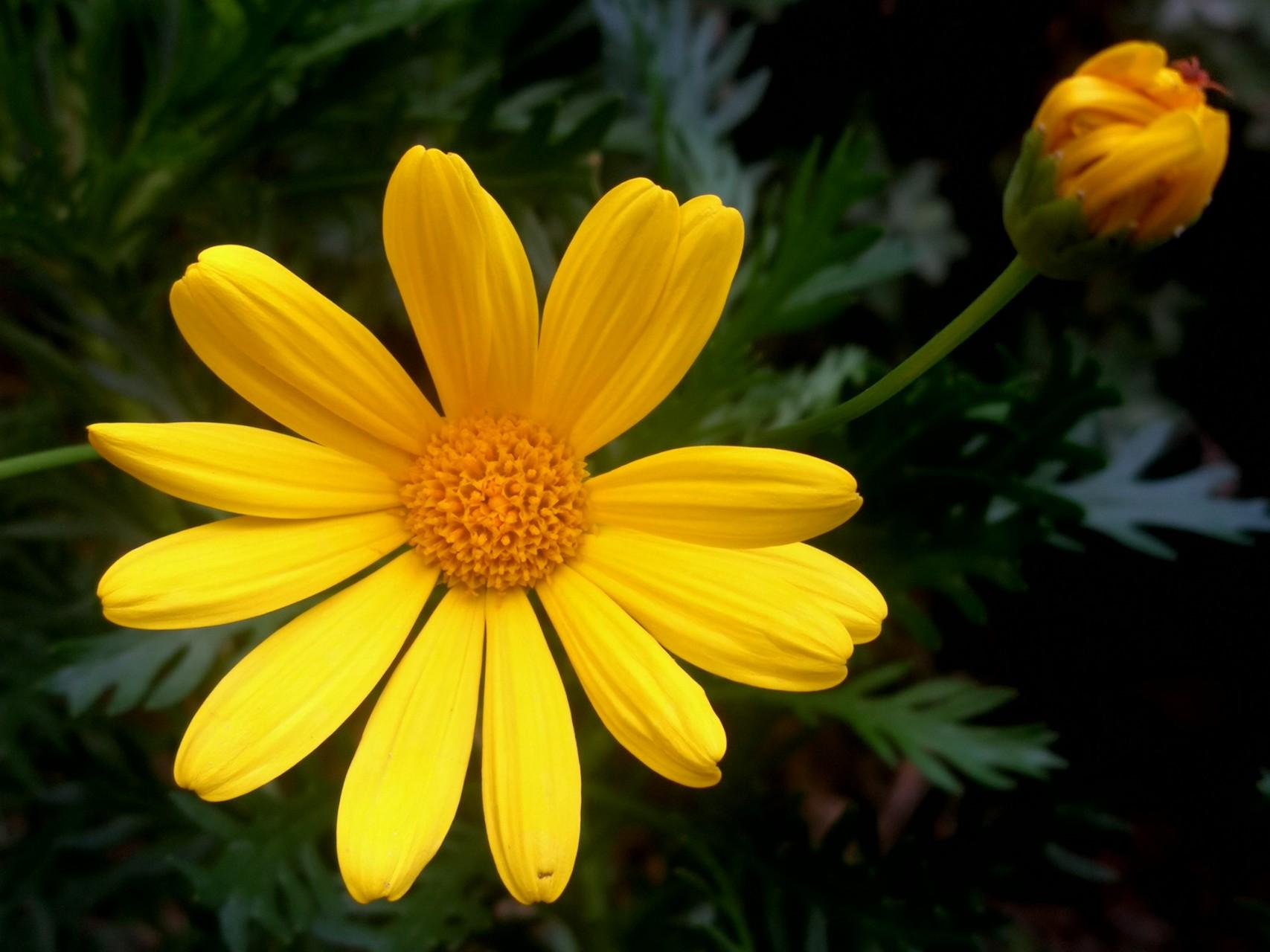 黄金菊的花语