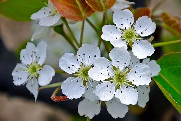 梨花的花语是什么象征