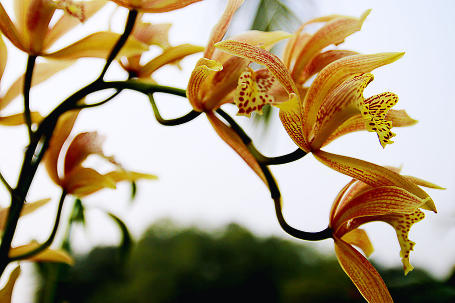 虎头兰的养殖方法和注意事项都有哪些呢