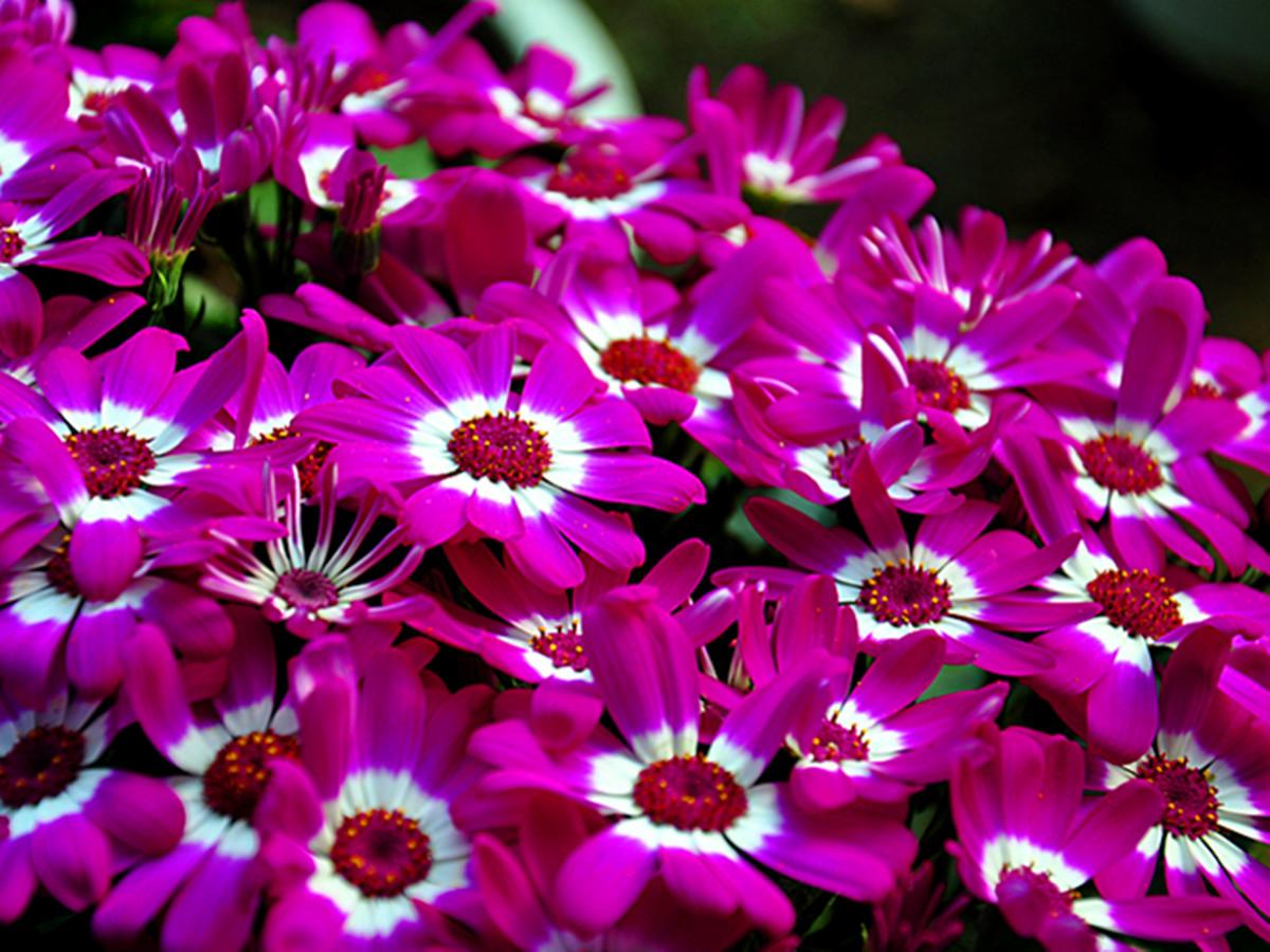 瓜叶菊不仅养护起来花期长!寓意也是极好的!