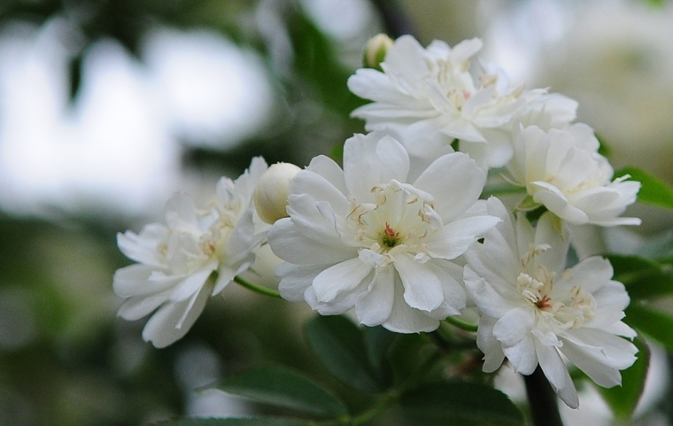 木香花花语
