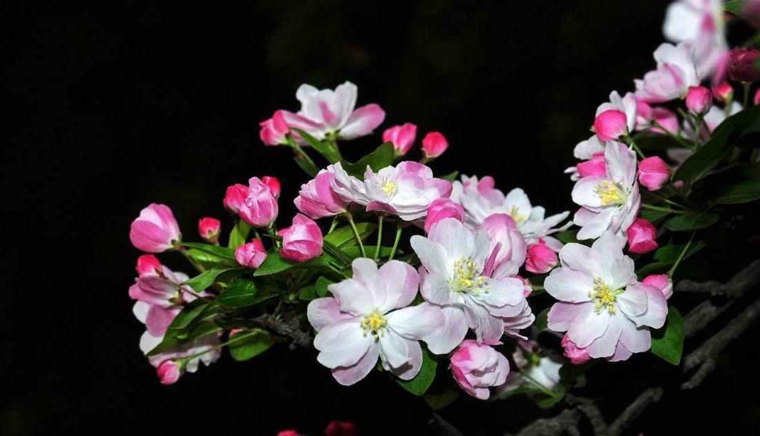 西府海棠花语