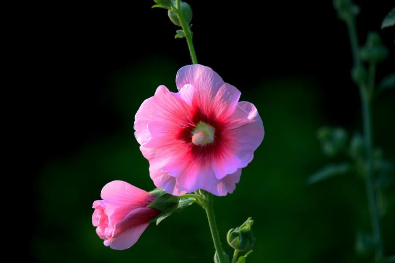 蜀葵花的寓意