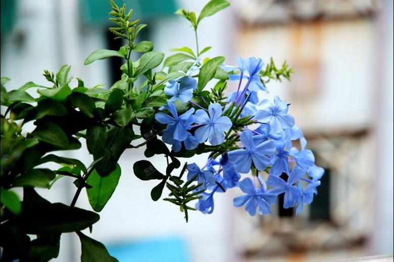 蓝雪花的栽培要点有哪些