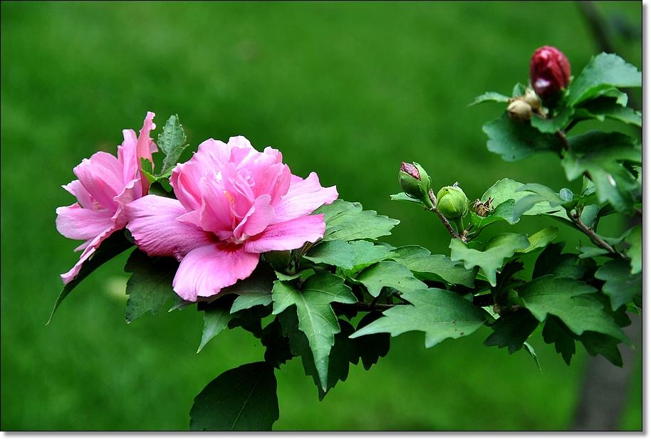 大花木槿的养殖方法及注意事项有哪些