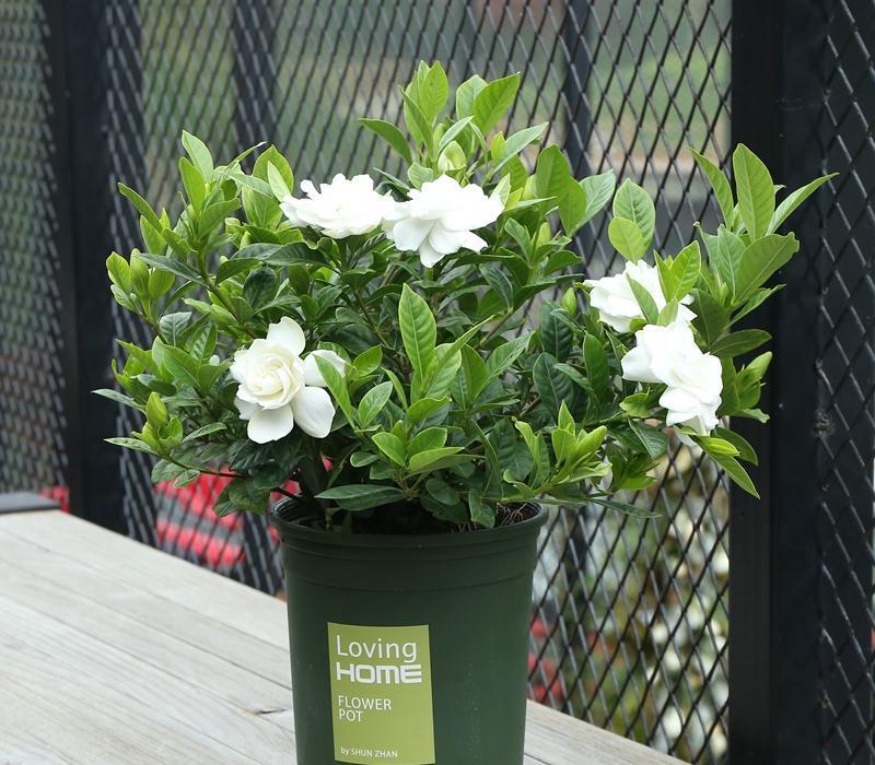 北方饲养栀子花如何保持叶绿花香