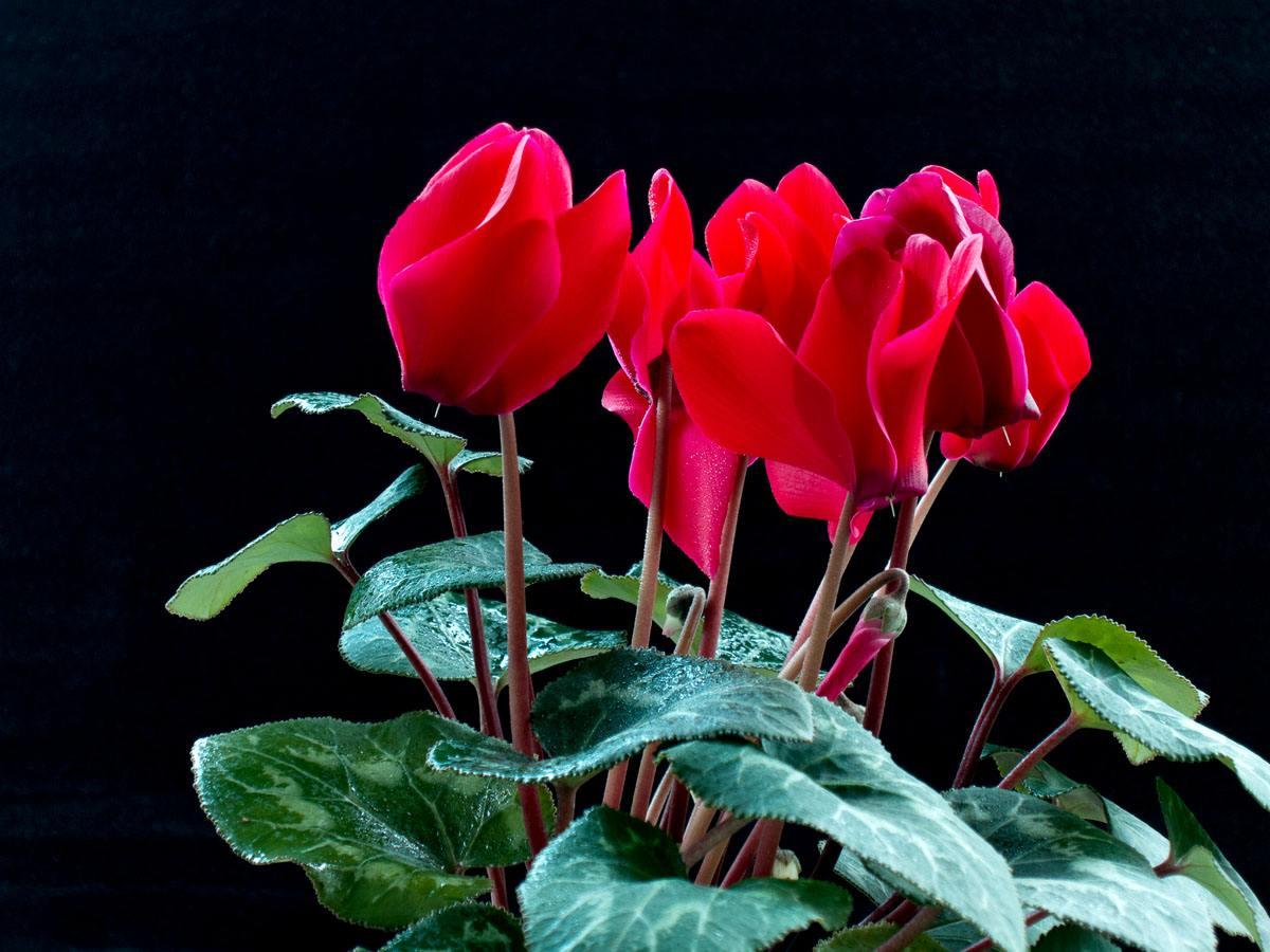 仙客来栽种时的四个要点是什么