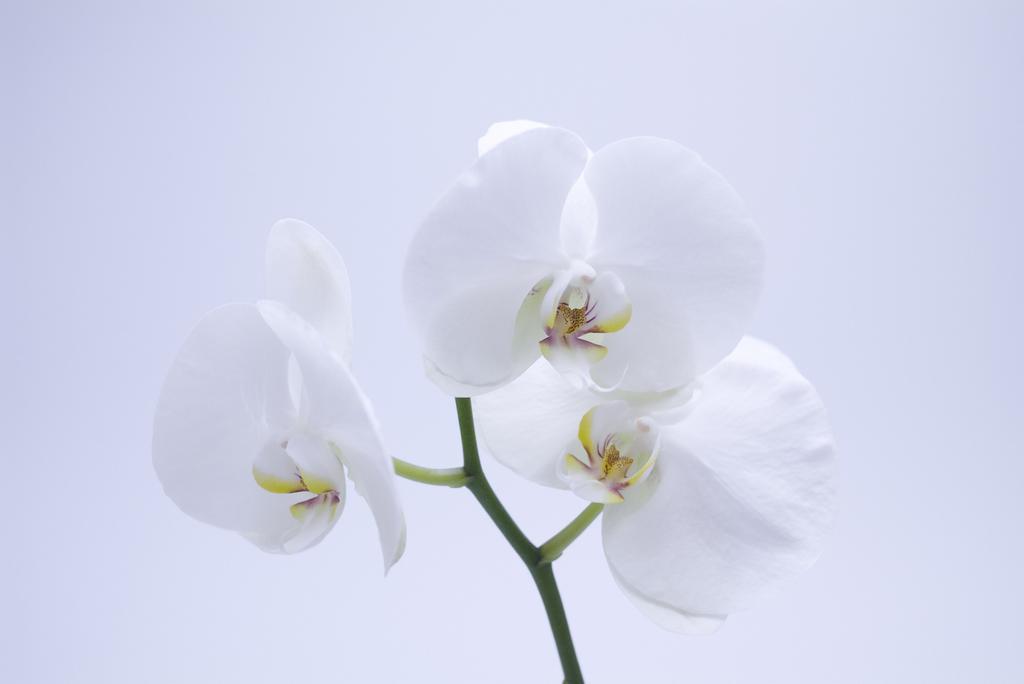 白色蝴蝶兰的夏季养护管理要点是什么
