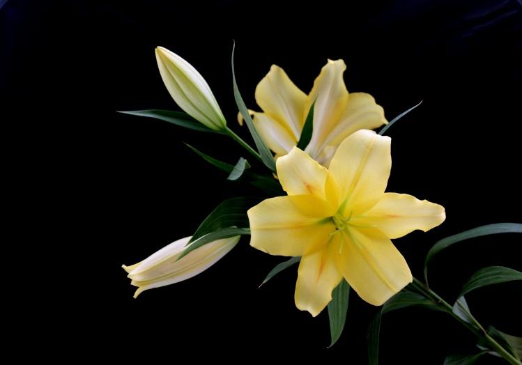 百合花的盆栽方法及环境要求是什么