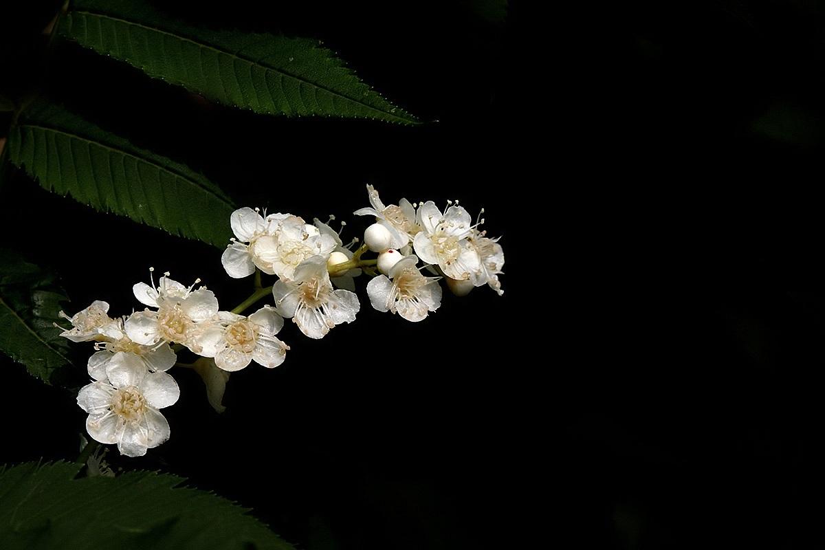 珍珠梅的栽培要点有哪些