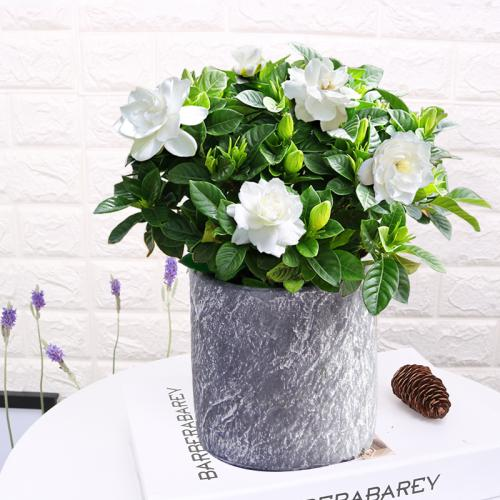 栀子花的栽培要点技巧有哪些