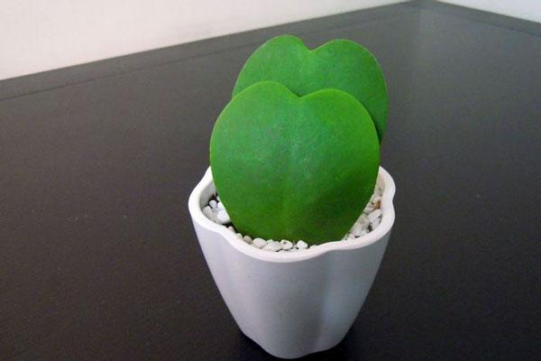 心叶球兰的栽培要点是什么