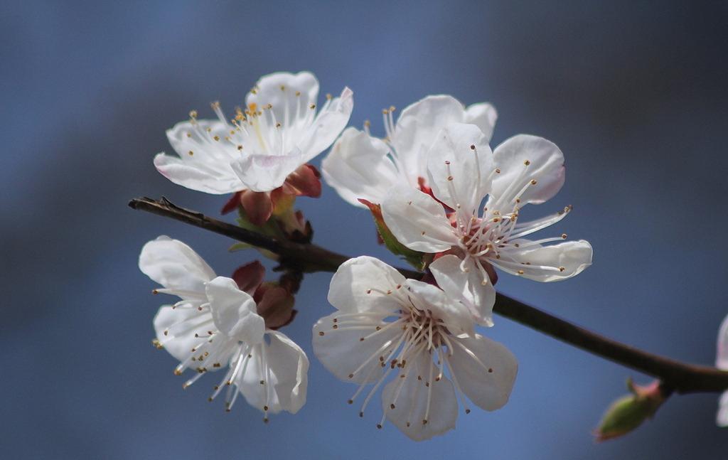 杏花的寓意和象征
