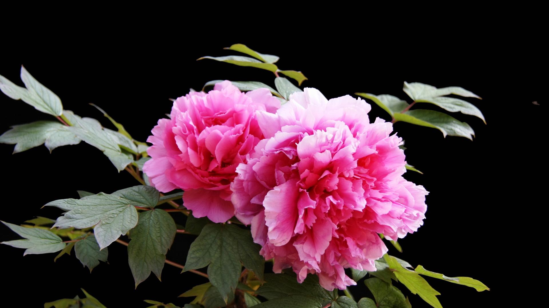 牡丹花花语和寓意