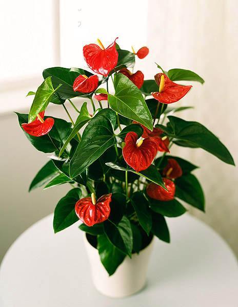 红掌盆栽的方法及养护要点