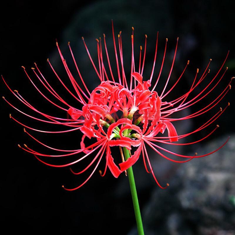 【花语大全】什么花的花语代表孤独?盘点十大孤独的花语