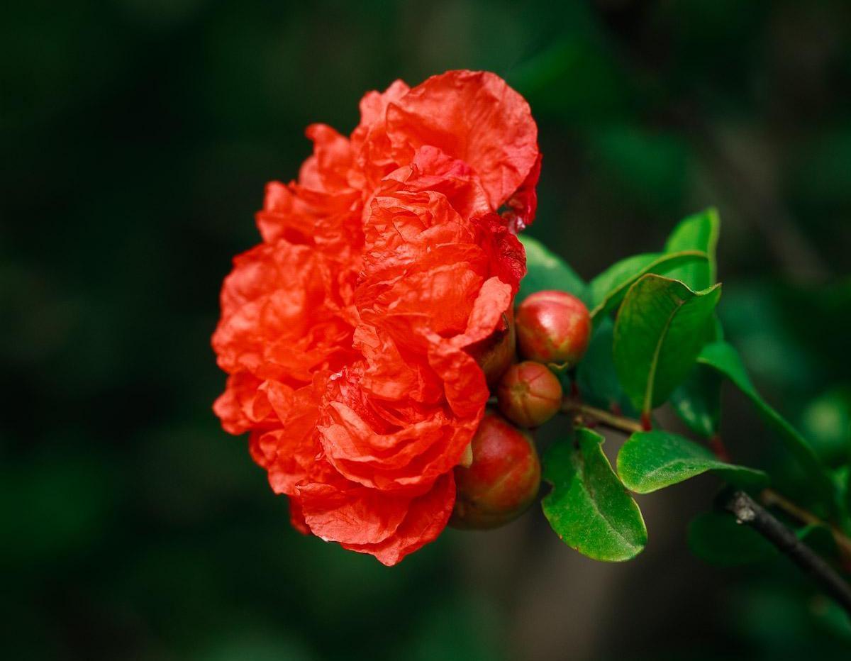 石榴花的花语和寓意是什么