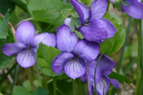 不同颜色的紫罗兰的花语介绍