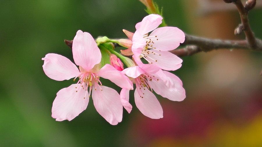 不同品种的樱花花期介绍