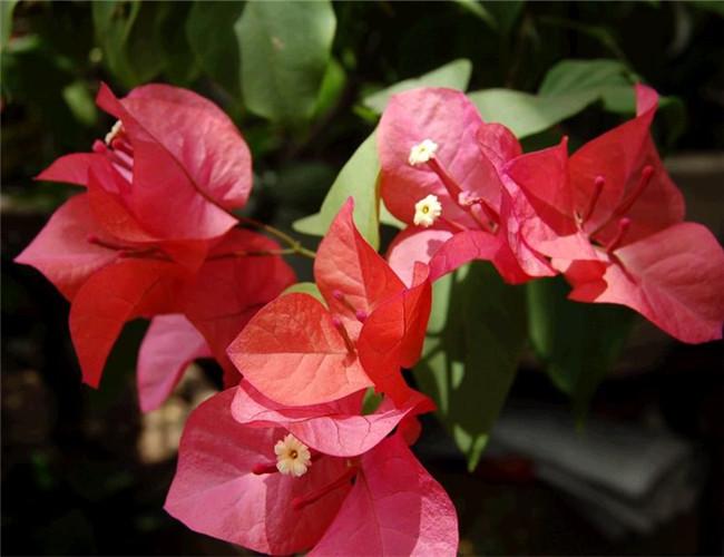 光叶子花的栽培要点是什么
