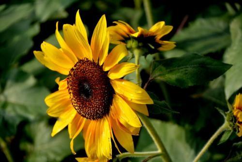 观赏向日葵的定植养护有哪些