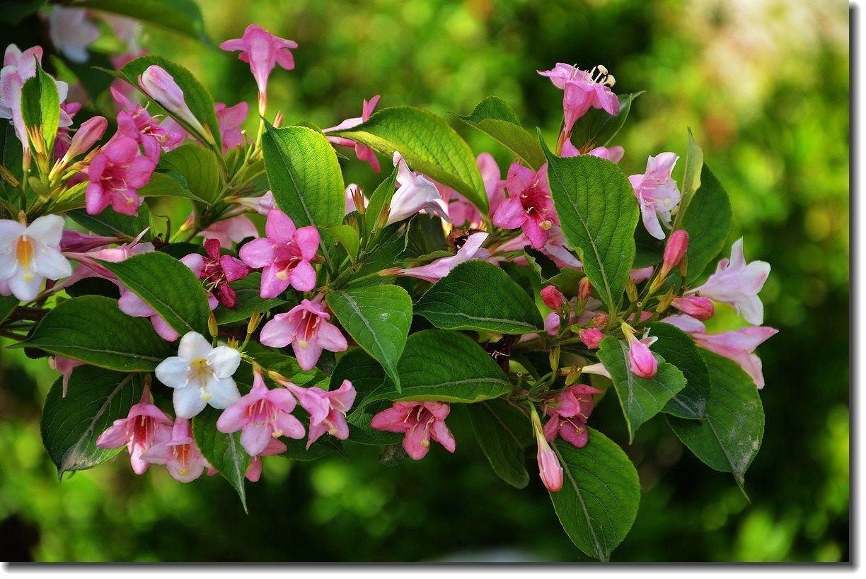 锦带花花语及作用介绍
