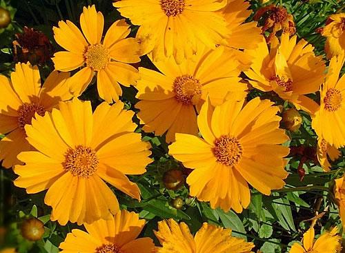大花金鸡菊的栽培要点是哪些