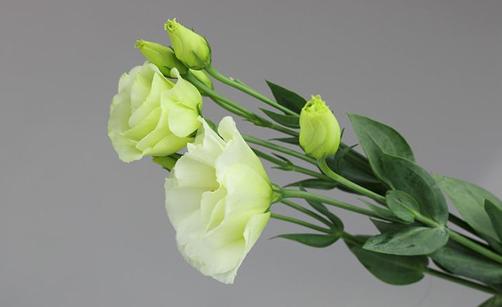 绿色桔梗的花语是哪些?