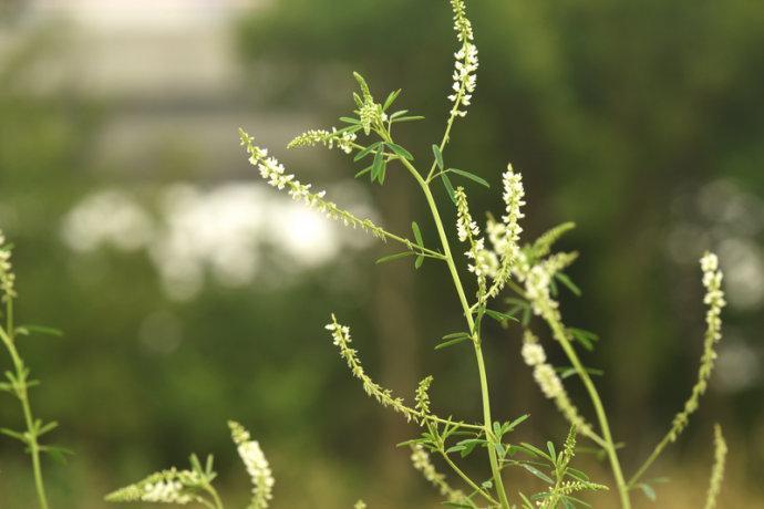 白花草木樨(白香草木樨、白甜车轴草)图片及简介