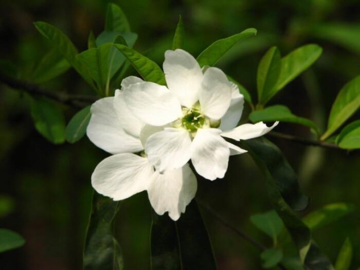 白鹃梅的养殖方法及注意事项是哪些