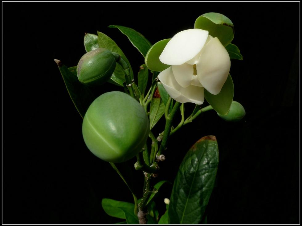 夜合花的栽培要点有哪些
