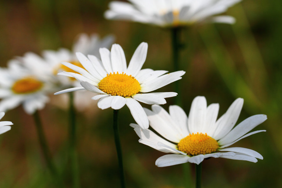 洋甘菊的花语和寓意是什么