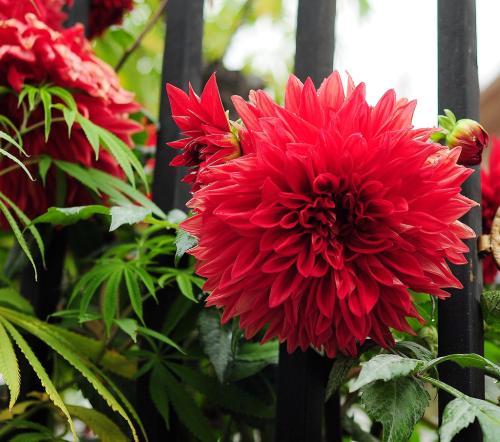 大丽花盆栽需要良好的通风环境